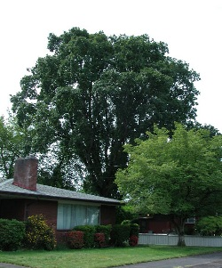 Oregon white oak 111
