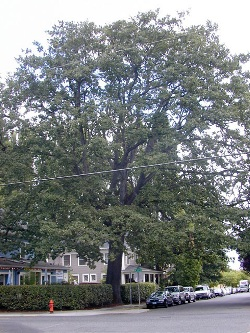 Oregon white oak 108