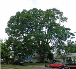 Oregon white oak 110