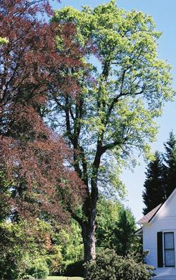 Oregon white oak