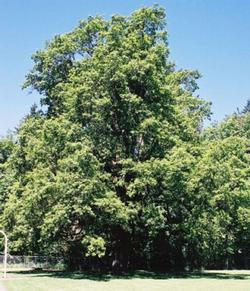 Oregon white oak 101