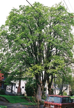 Sycamore maple