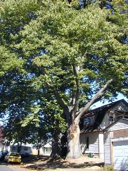 American chestnut 107