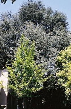 Cedrus libani ssp. atlantica