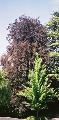 European beech