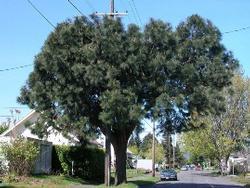 Apache pine