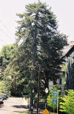 Austrian pine 107