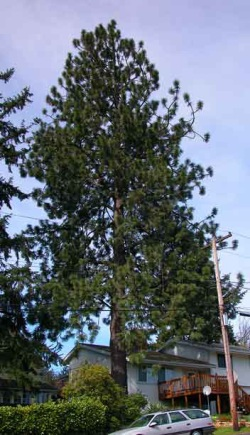 Ponderosa pine 114