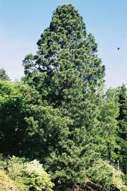 Endlicher pine