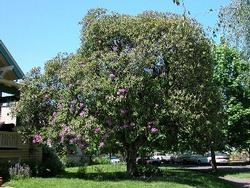 Ponticum rhododendron