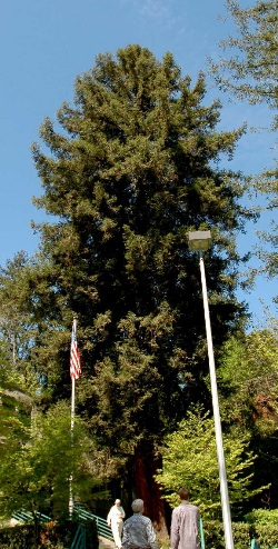 Coast redwood 112