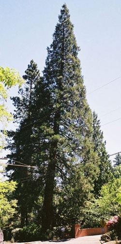 Giant sequoia 95