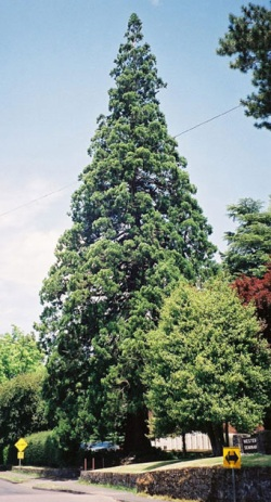 Giant sequoia 85