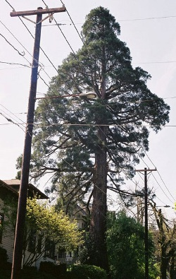 Giant sequoia 84