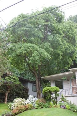 Japanese pagoda tree