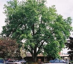 Smoothleaf elm