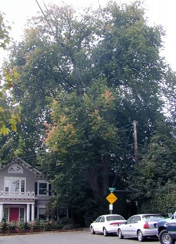Dutch elm
