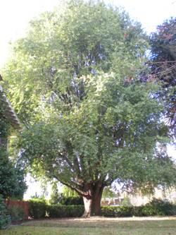 Oregon myrtle
